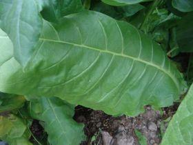 Семена табака сорта Многолистный