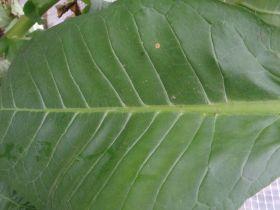 Семена табака сорта Burley