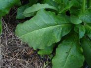 Семена табака сорта Burley B21