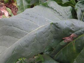 Семена табака сорта Kentucky-190 (KY 190) Берли