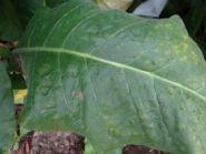 Семена табака сорта Virginia 310.