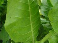 Семена табака сорта Virginia/SU